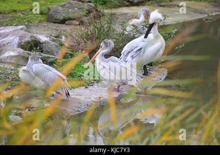 Pink-backed pelicans (Pelecanus rufescens) - Stock Image