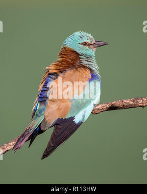 European Roller (Coracias garrulus) perching on a branch, Hortobagy National Park, Hungary - Stock Image