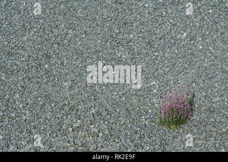 Texture from a gravel area with a blossoming wildflower. Solitary clump of pink flowers on a gray background of small stones. Blooming plant in grit. - Stock Image
