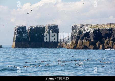 Seabirds nesting on the Farne Islands, Northumberland, UK. - Stock Image