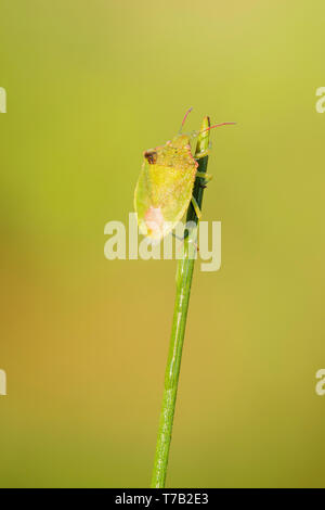 A Red-shouldered Stink Bug (Thyanta custator) clings to the tip of a plant stem. - Stock Image