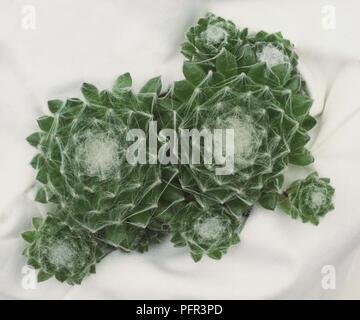 A Cobweb Houseleek Plant - Stock Image