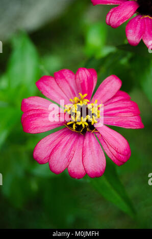Pink summer flower - Stock Image