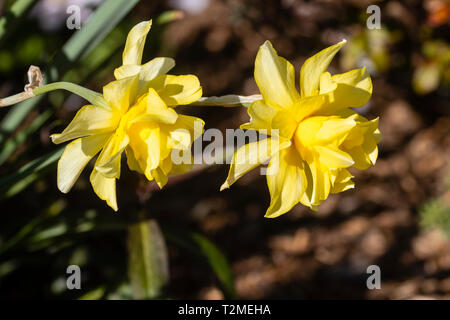 Double flower of the yellow daffodil, Narcissus 'Sulphur Phoenix', a pre 1820 heritage variety - Stock Image