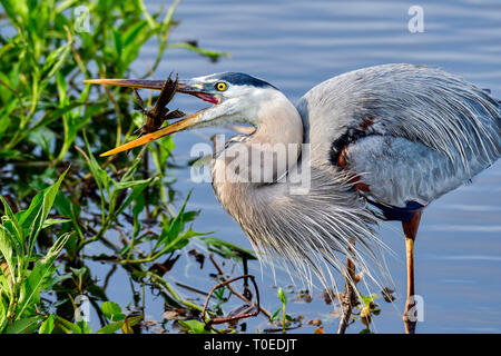 Great Blue Heron with first catch of the day. - Stock Image