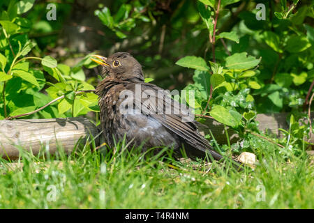 Female blackbird (turdus merula) - Stock Image