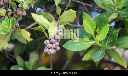 Button-like, fruits of button mangrove or buttonwood (Conocarpus erectus).  Puerto Villamil, Isabela, Galapagos, - Stock Image