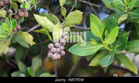 Button-like, fruits of button mangrove or buttonwood (Conocarpus erectus).  Puerto Villamil, Isabela, Galapagos, - Stock Image
