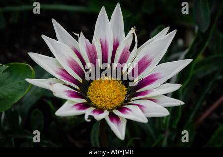 Purple and white flower - Stock Image