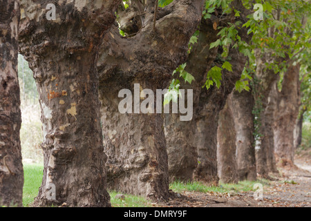 tree line lane way - Stock Image