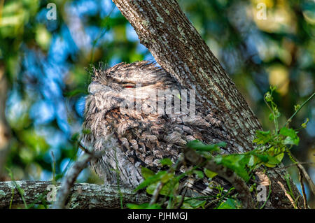 Tawny frogmouth roosting in a tree, Brisbane, Australia - Stock Image