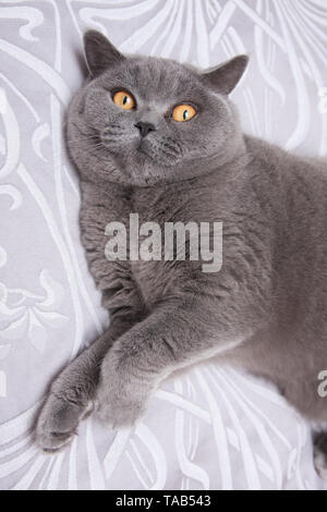 British Blue Shorthair Cat, Portrait single male adult, lying on bed at home, England, UK - Stock Image