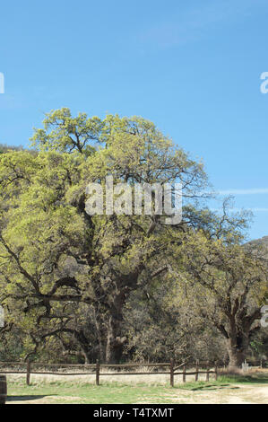 Live oaks at Fort Tejon in the San Joaquin Valley, near Lebec, California. Digital photograph - Stock Image
