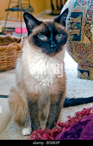 Traditional Male 'Old Style' Snow Shoe Siamese cat blue eyes  one of the first distinct breed of Oriental - Stock Image