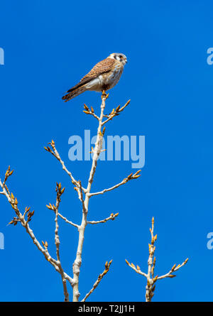 American Kestrel (Falco sparverius) looking for prey at the tip of Plains Cottonwood tree, Castle Rock Colorado US. Photo was taken in April. - Stock Image