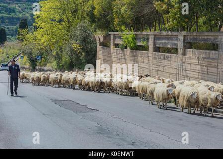 Southern Italy, Sicily, Agria, an island, a shephard herding his sheep along a town road - Stock Image