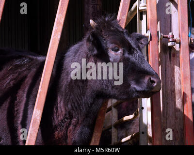 Cattle behind the metal gate of a barn and a sunny winters day, England, UK. - Stock Image