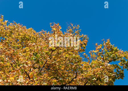 Colorful fall foliage and blue sky copyspace - Stock Image
