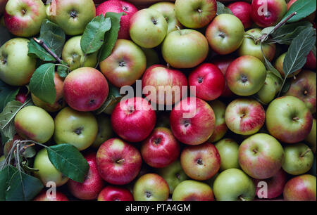 Freshly harvested organic apples in wooden crate. Large group of fresh apples from the farm. - Stock Image