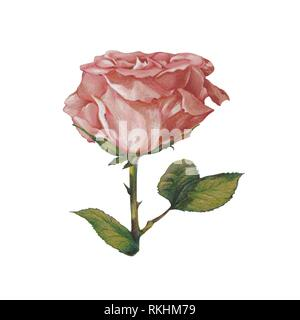 Old pink Rose (Rosa), clipping, white background, Germany - Stock Image