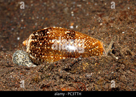 Blood Olive Shell, Oliva reticulata, showing mantle, eye and syphon. Burrowing into sand. Tulamben, Bali, Indonesia. Bali Sea, Indian Ocean - Stock Image