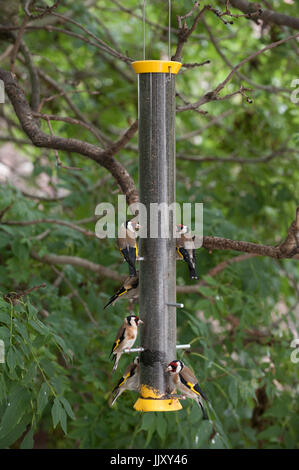European Goldfinch or Goldfinch (Carduelis carduelis), adult and juvenile birds on niger seed bird feeder, London, - Stock Image