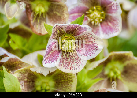 Pink speckled Hellebore flowers in early spring. - Stock Image