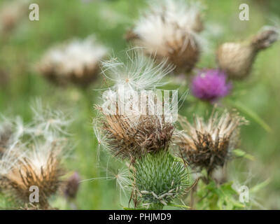 Heads of a Spear Thistle [Cirsium vulgare] dying off and going to seed. Parts of the plant may actually be eaten. - Stock Image