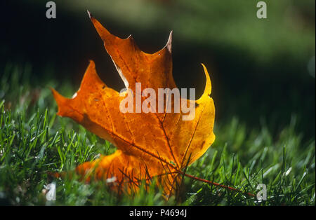 An autumn maple leaf on grass - Stock Image