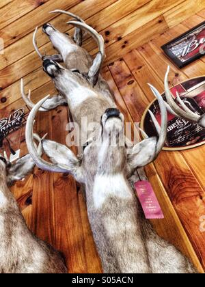 Taxidermy. Deer heads. - Stock Image