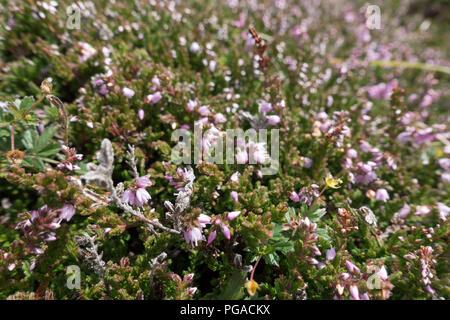 heather background - Stock Image