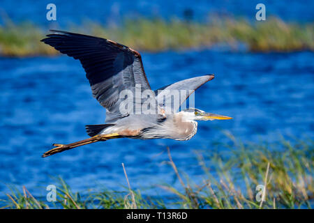 Great Blue Heron gliding over water. - Stock Image