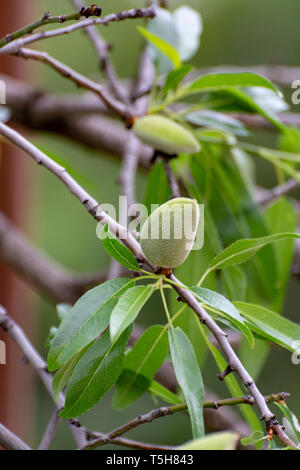 Young green almond nuts riping on almond tree close up - Stock Image