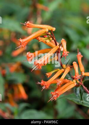 Tubular orange floowers of the half hardy to tender evergreen shrub, Cuphea ignea 'David Verity' - Stock Image