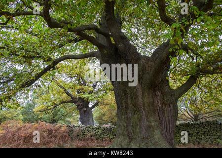Mature oak trees at Bradgate Park, Leicestershire, East Midlands, UK - Stock Image