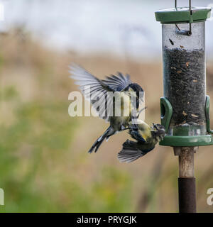Great Tit, Parus major and Blue Tit, Cyanistes caeruleus (fka Parus caeruleus) fighting at a black Sunflower Seed feeder. Defocussed background. - Stock Image