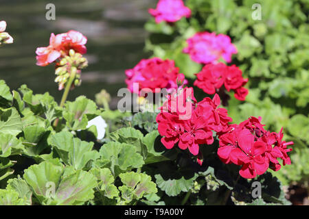 Multiple blooming bright pink flowers with some green leaves an a brown soft background. Colorful closeup image taken during a sunny spring day. - Stock Image