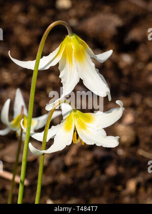 Yellow shading to white flowers of the hardy spring woodland bulb, Erythronium 'Jeanette Brickell' - Stock Image
