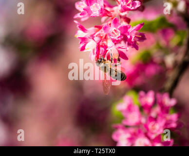A honey bee feeding on a pink flowering currant plant. - Stock Image