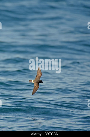 European storm petrel Hydrobates pelagicus in flight off Pembrokeshire coast Wales August - Stock Image