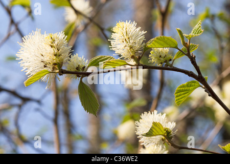 Outdoor image of a blossom Fothergilla (Fothergilla Major) in spring time. - Stock Image