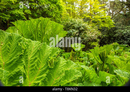 Colour photograph in landscape format of Giant Rhubarb Gunnera leaves (Gunneraceae) with green deciduous trees in background. Branksome gardens, Poole - Stock Image