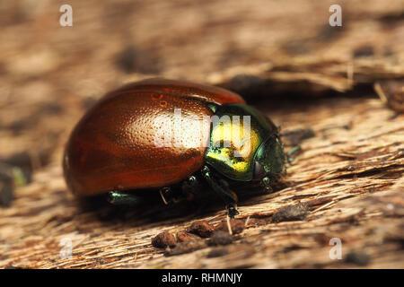 Chrysolina polita Leaf Beetle overwintering inside bark of tree. Tipperary, Ireland - Stock Image