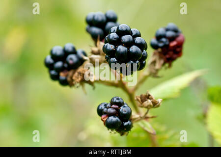 Bramble or Blackberry (rubus fruticosus), close up of a group of ripe berries. - Stock Image
