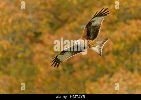Red kite (Milvus milvus) adult in flight, against backdrop of autumn foliage. Powys, Wales. 30 October. - Stock Image