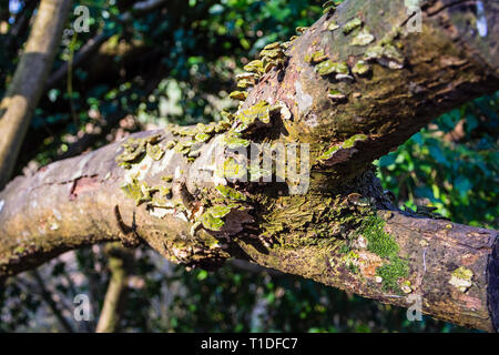 A branch previously cut from a tree with bracket fungi (probably Trametes versicolor) of green and yellow colouring growing from the decaying bark - Stock Image