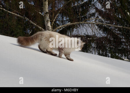 Domestic Siberian Neva Masquerade cat walks on white icy sloop. - Stock Image