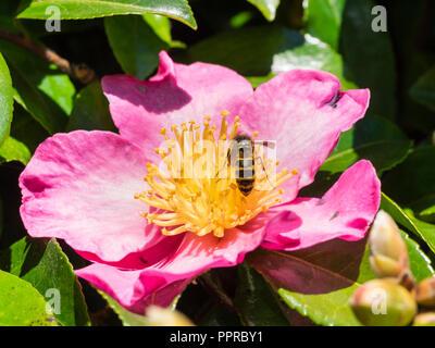 Wasp, Vespula vulgaris, feeding on pollen of a flower of the autumn blooming evergreen shrub, Camellia sasanqua 'Crimson King' - Stock Image