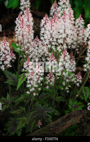 Tiarella 'Sugar and Spice' close up of flowers - Stock Image
