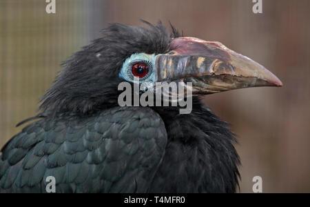 Visayan Tarictic Hornbill (penelopides panini) female - Stock Image